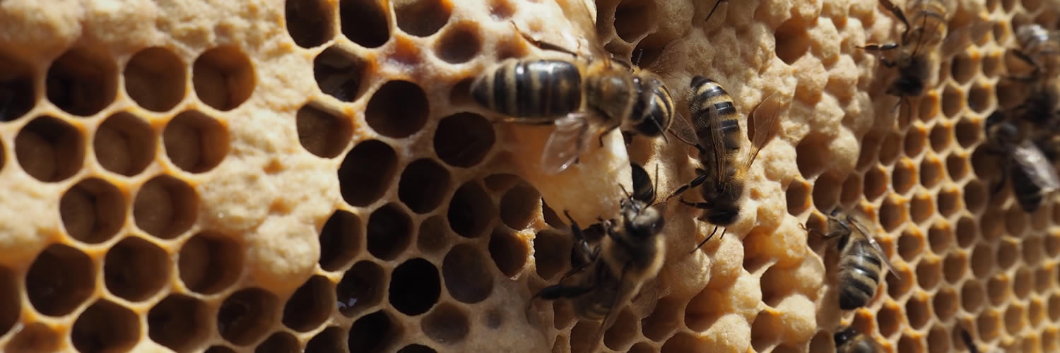 honey bees attending to queen cell at west cornwall beekeepers' association training apiary