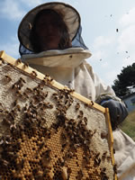 west cornwall beekeeper with frame of bees