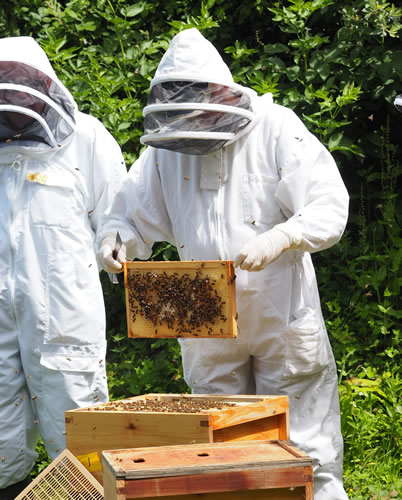 west cornwall beekeeper inspecting a frame of honey bees